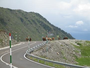 Wildpferde in den Pyrenäen