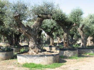 Eine etwas andere Baumschule: uralte Olivenbäume