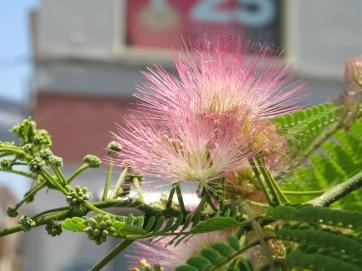 Ein exotischer Baum - ähnlich der Zylinderputzerblume