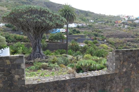 Die Gemeinde Icod de los Vinos - 600 jähriger Drachenbaum.